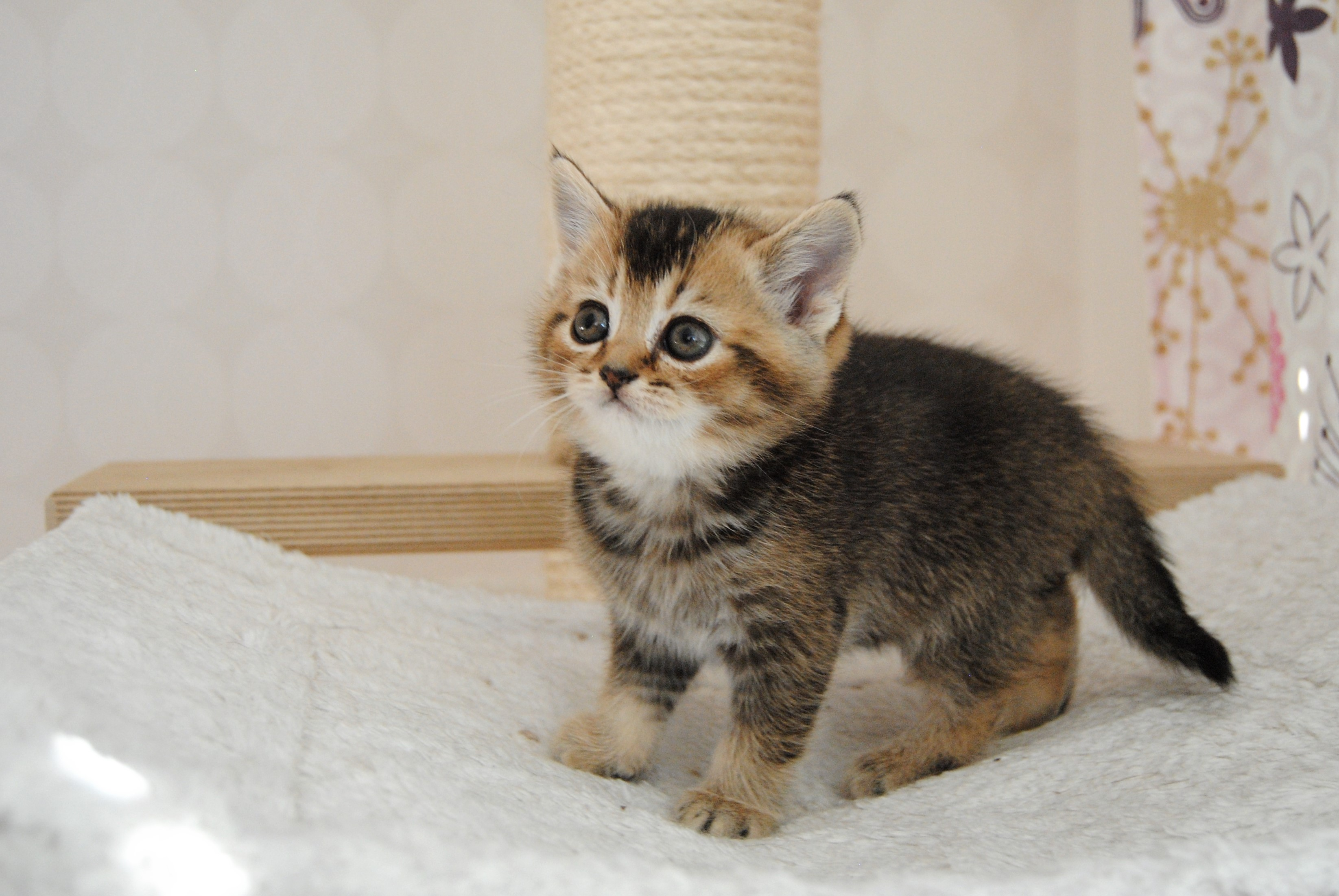 kattunge till salu